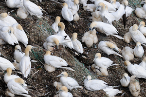 Gannets with chicks