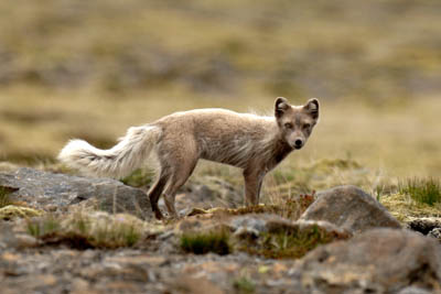 sArctic fox AN06-07-02
